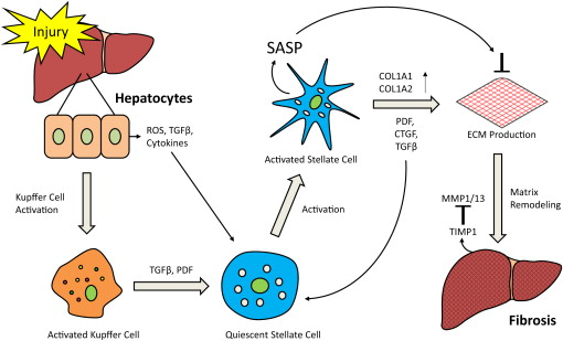 Functional Role Of Cellular Senescence In Biliary Injury