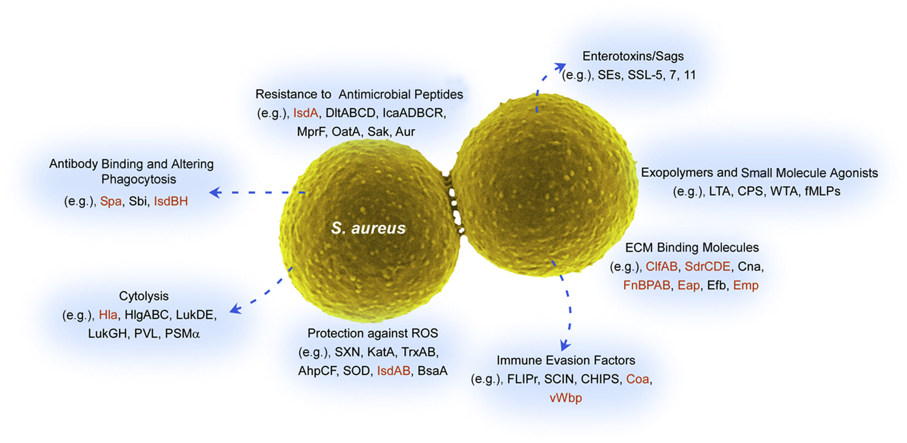 staphylococcus aureus Description and significance staphylococci are spherical gram-positive bacteria, which are immobile and form grape-like clusters they form bunches because they divide in two planes as opposed to their close relatives streptococci which form chains because they divide only in one plane.