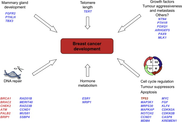 Arvet genetisk disposition for brystkræft - Den-1023