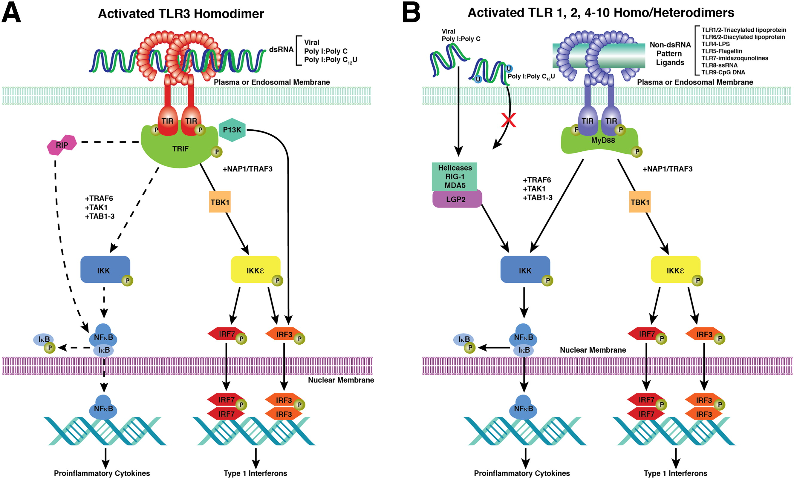 7 best TLR3 pathway images on Pinterest