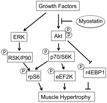 Differential Muscle Hypertrophy Is Associated with ...