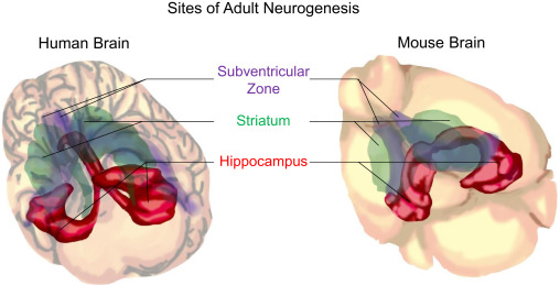 Function and Dysfunction of Adult Hippocampal Neurogenesis in ...