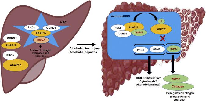 kinase anchoring protein