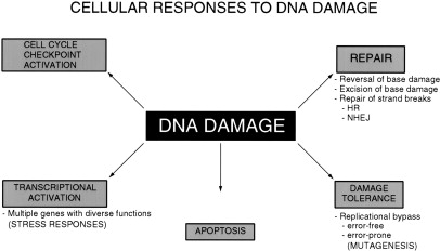Nucleotide excision repair and cancer predisposition the american dna damage figure 1figure malvernweather Choice Image